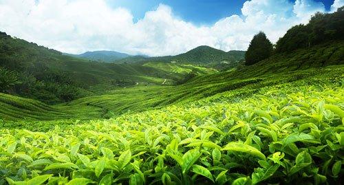 Migliore-tè-verde-Matcha