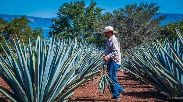 Migliore Tequila - Agave azul