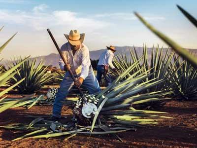 Migliore Tequila - jimadores